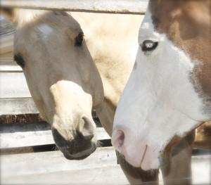 Kissing Horses